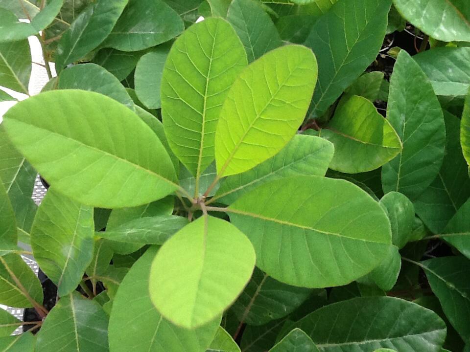Clivia varieties